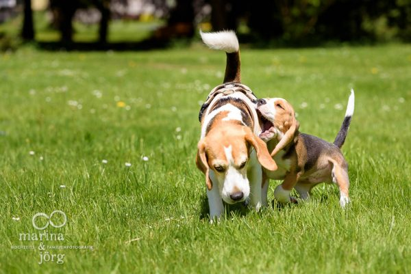 Fotoshooting mit Hund: Beagles in Aktion - Familienfotografie Marburg